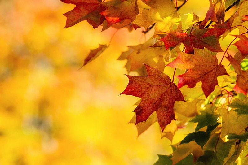 Orange, red & yellow maple leaves