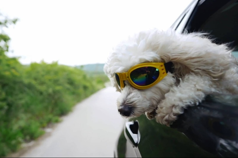 Dog outside window with sunglasses